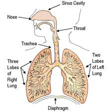 The Respiratory Diseases
